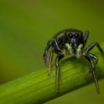 Prise sur le vif (araignée sauteuse)