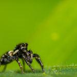 Une araignée sauteuse touchée par la grâce !