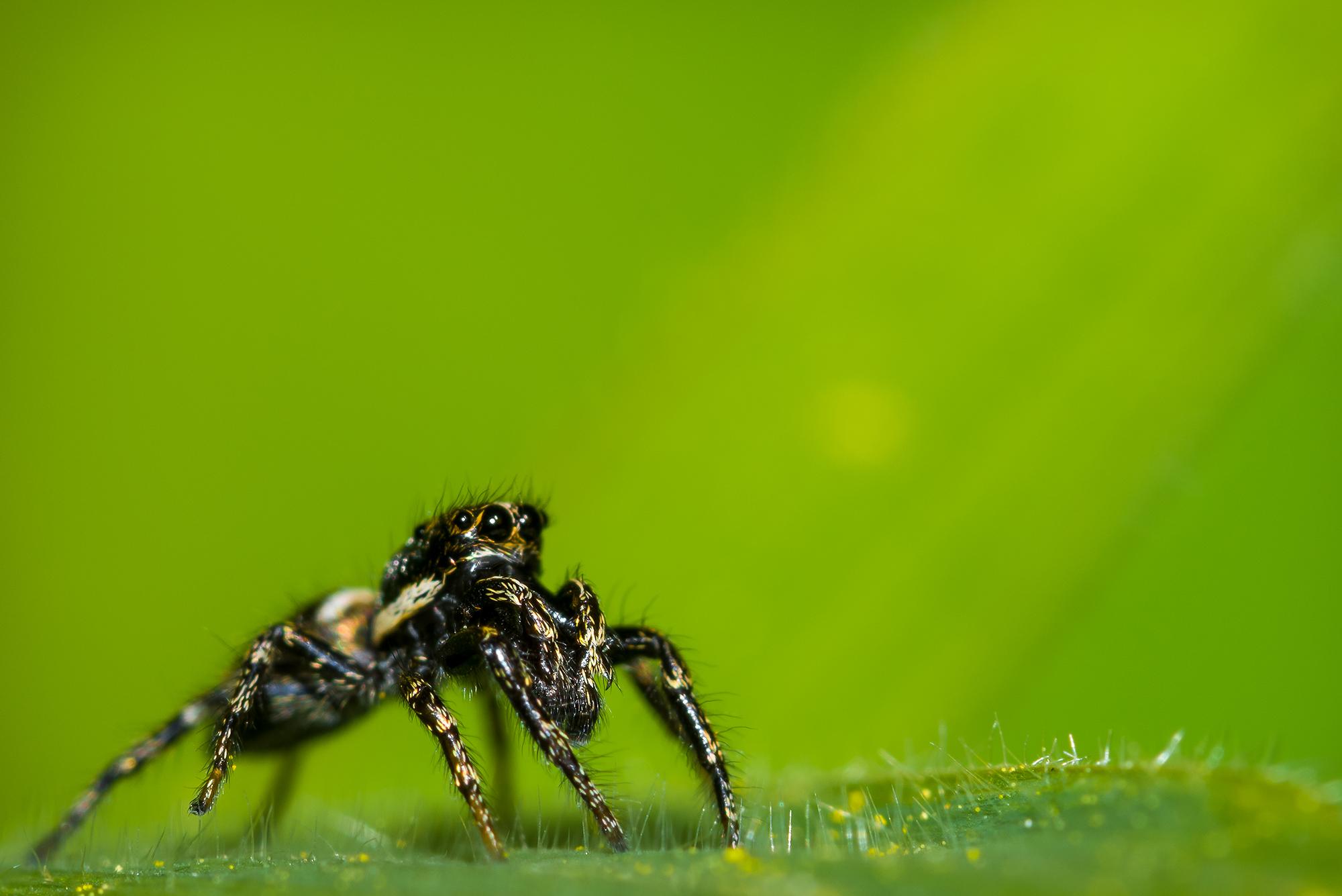 Portrait en macrophotographie d'une araignée sauteuse (Saltique héliophanus) à l'affût