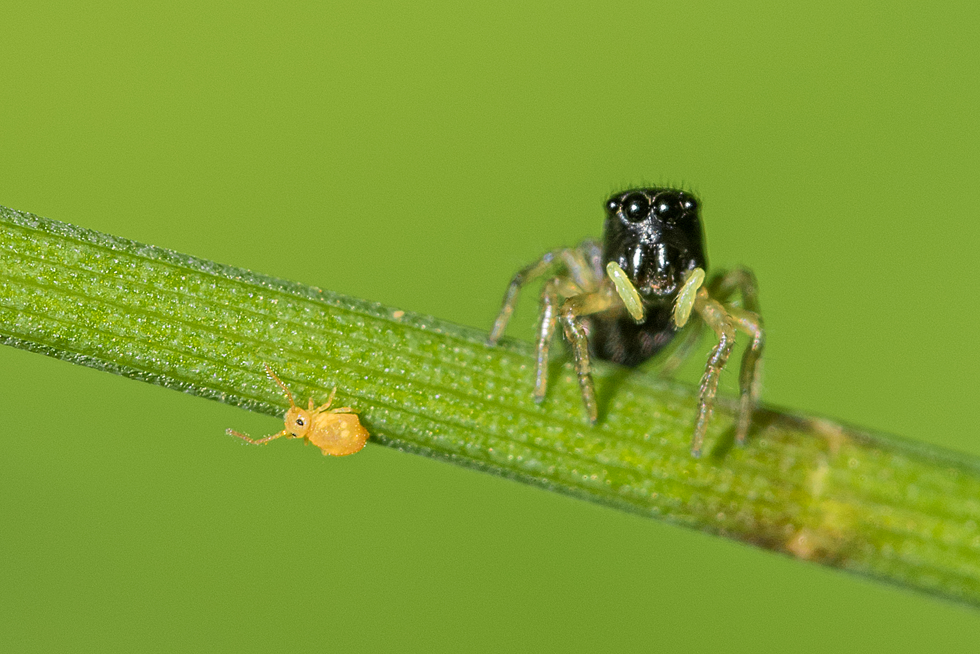 Portrait en macrophotographie d'une araignée sauteuse (Saltique héliophanus) à la chasse à la collembole