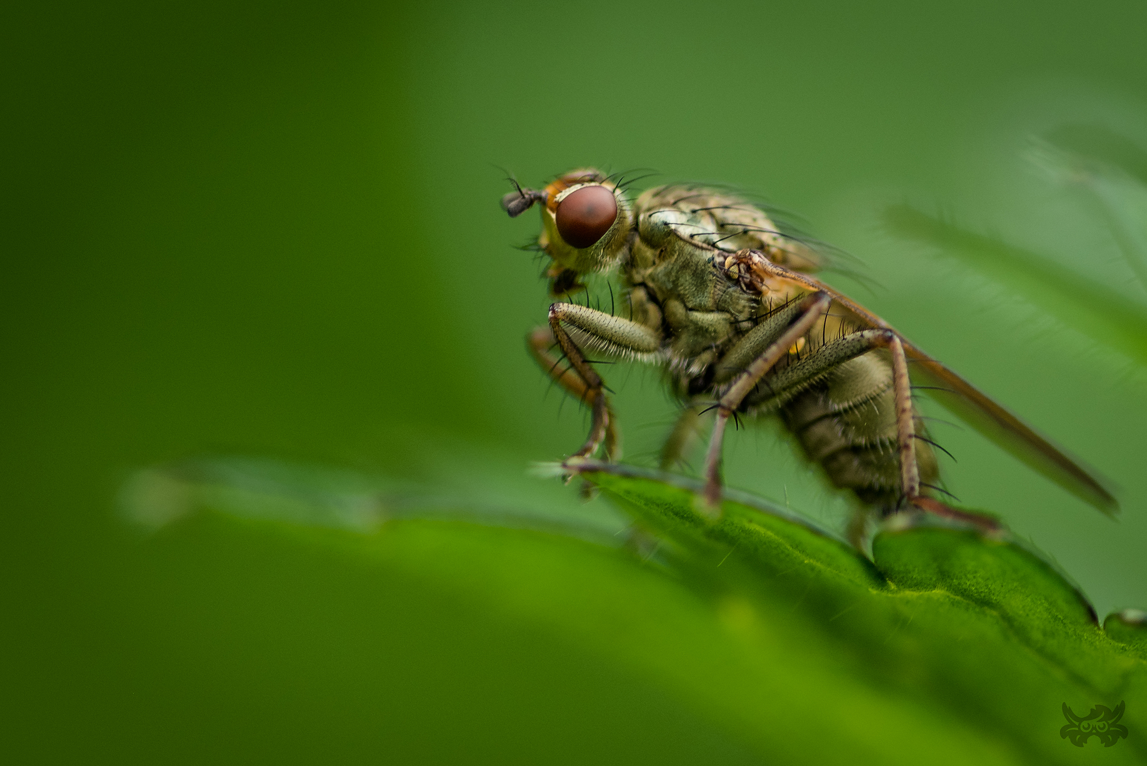 Macrophotographie de mouche (scatophage) réalisée par Baptiste Leroy, photographe en Bretagne