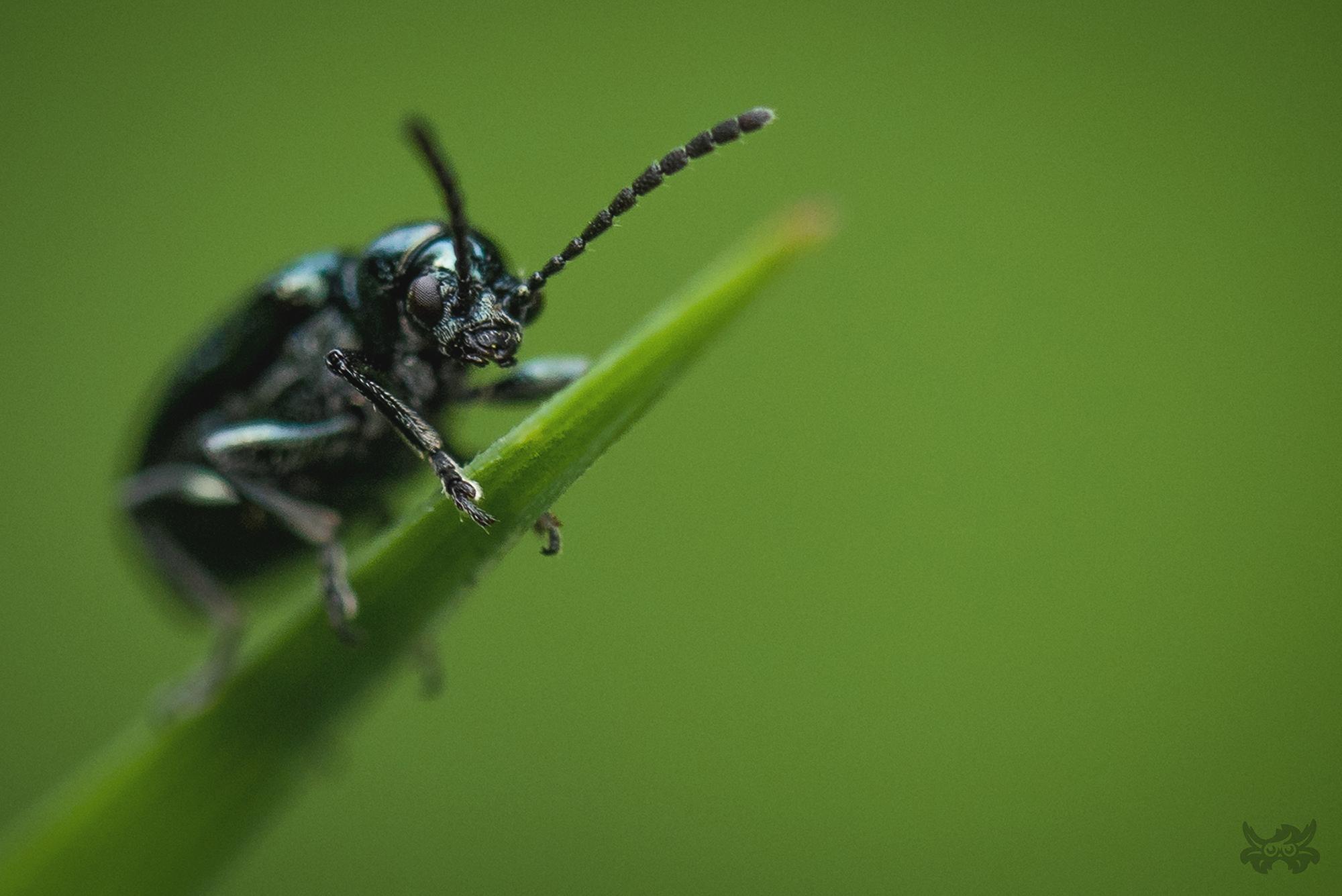 Macrophotographie de coléoptère réalisée par Baptiste Leroy, photographe en Bretagne