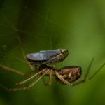 Macrophotographie de la fin d'une cicadelle ou la faim d'une araignée - au choix - réalisée par Baptiste Leroy, photographe en Bretagne