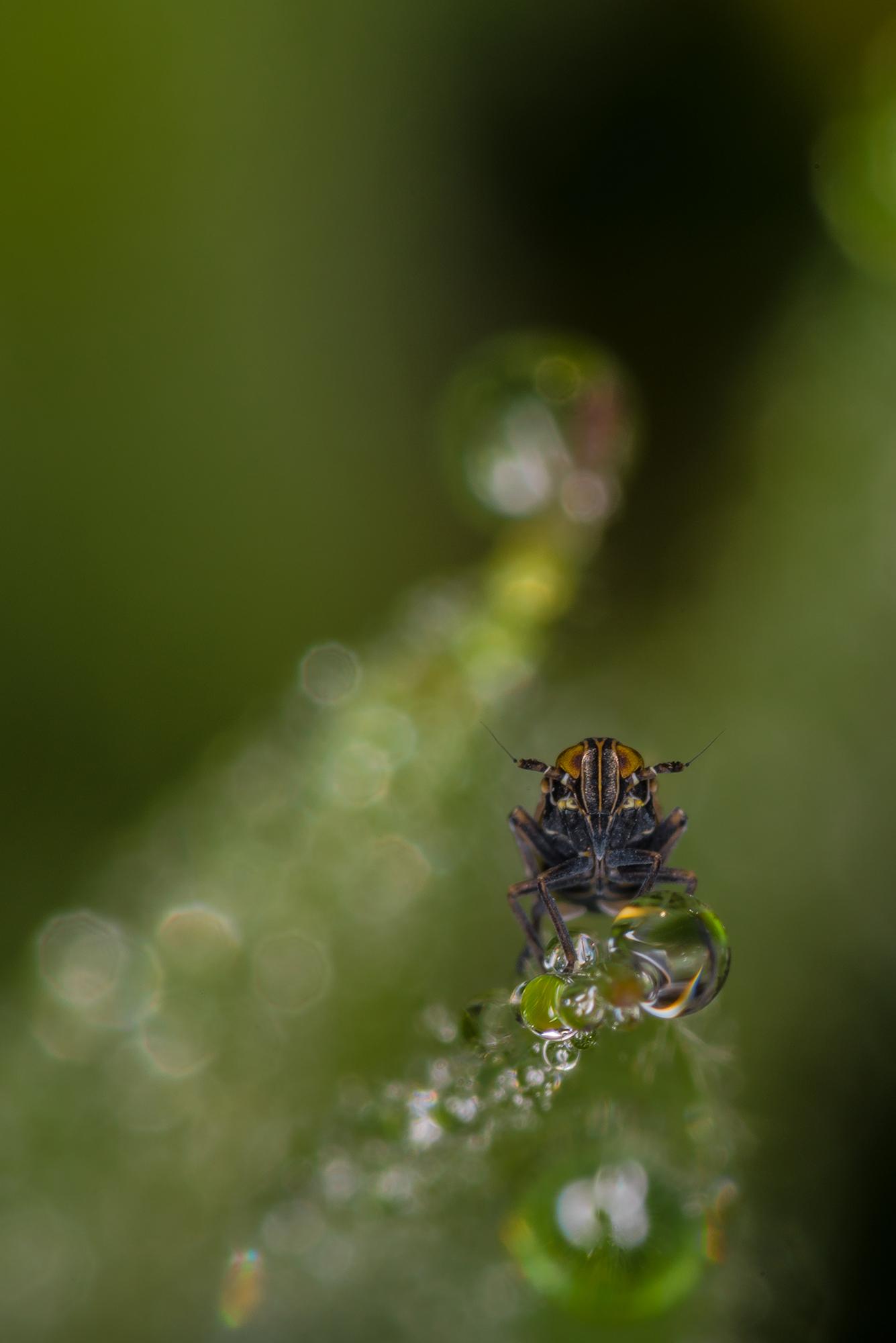 Portrait en macrophotographie d'une cicadelle (Cicadellidae sp.) dans la rosée