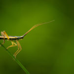 Macrophotographie d'insecte (Chorosoma schillingi)