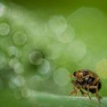 Macrophotographie de cicadelle réalisée par Baptiste Leroy, photographe en Bretagne