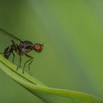 Macrophotographie de mouche (sepsis) réalisée par Baptiste Leroy, photographe en Bretagne