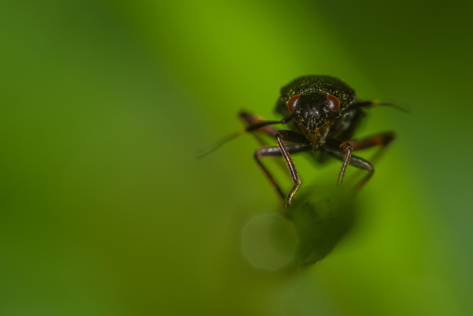 Portrait en macrophotographie d'un scarabée sur un brin d'herbe