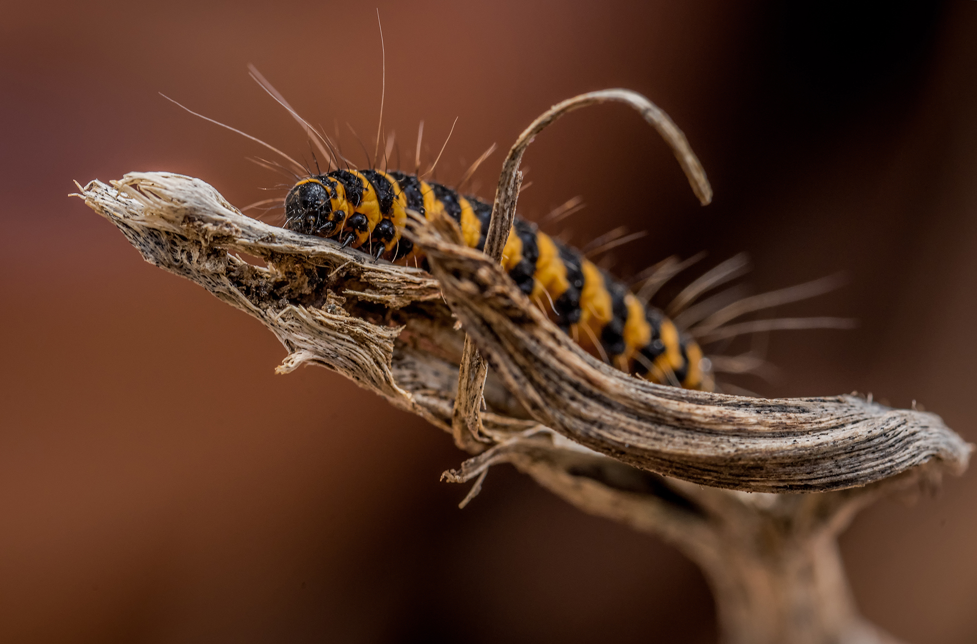 Portrait en macrophotographie d'une chenille de papillon de nuit