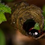 Macrophotographie d'une coccinelle en hibernation (focus stacking à main levée)