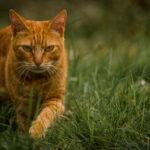 Portrait (photographie) de Tigrou (chat) réalisée par Baptiste Leroy, photographe en Bretagne (Lampaul-Guimiliau)
