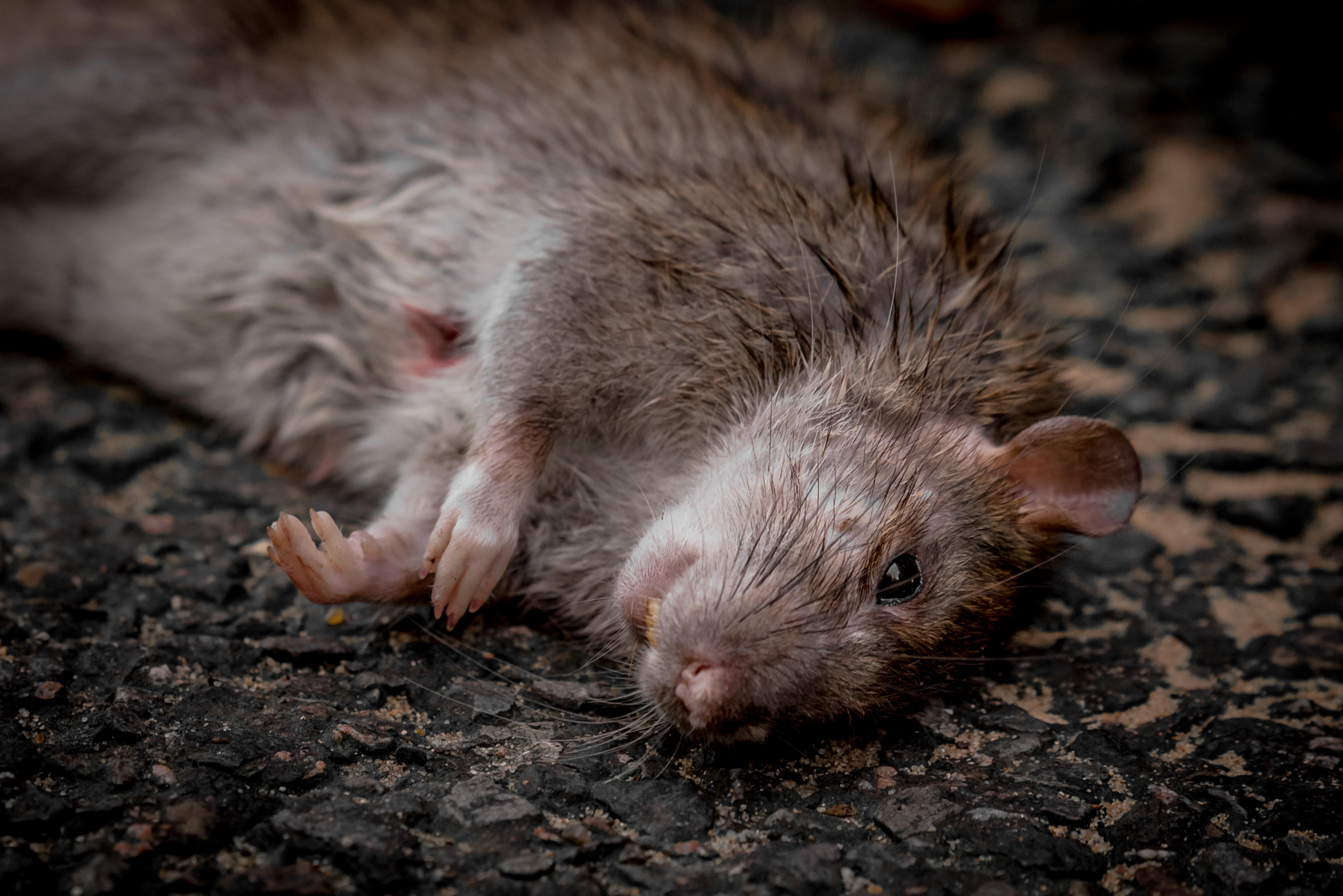Photographie (portrait) de rat commun réalisée par Baptiste Leroy, photographe en Bretagne (Londres)