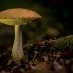 Photographie de champignon (type bolet / cèpe) en forêt