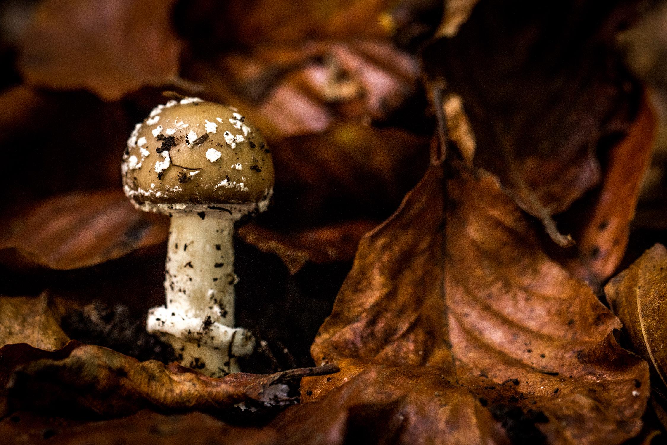 Photographie de champignon (type amanite) en forêt