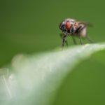 Macrophotographie de mouche réalisée par Baptiste Leroy, photographe en Bretagne