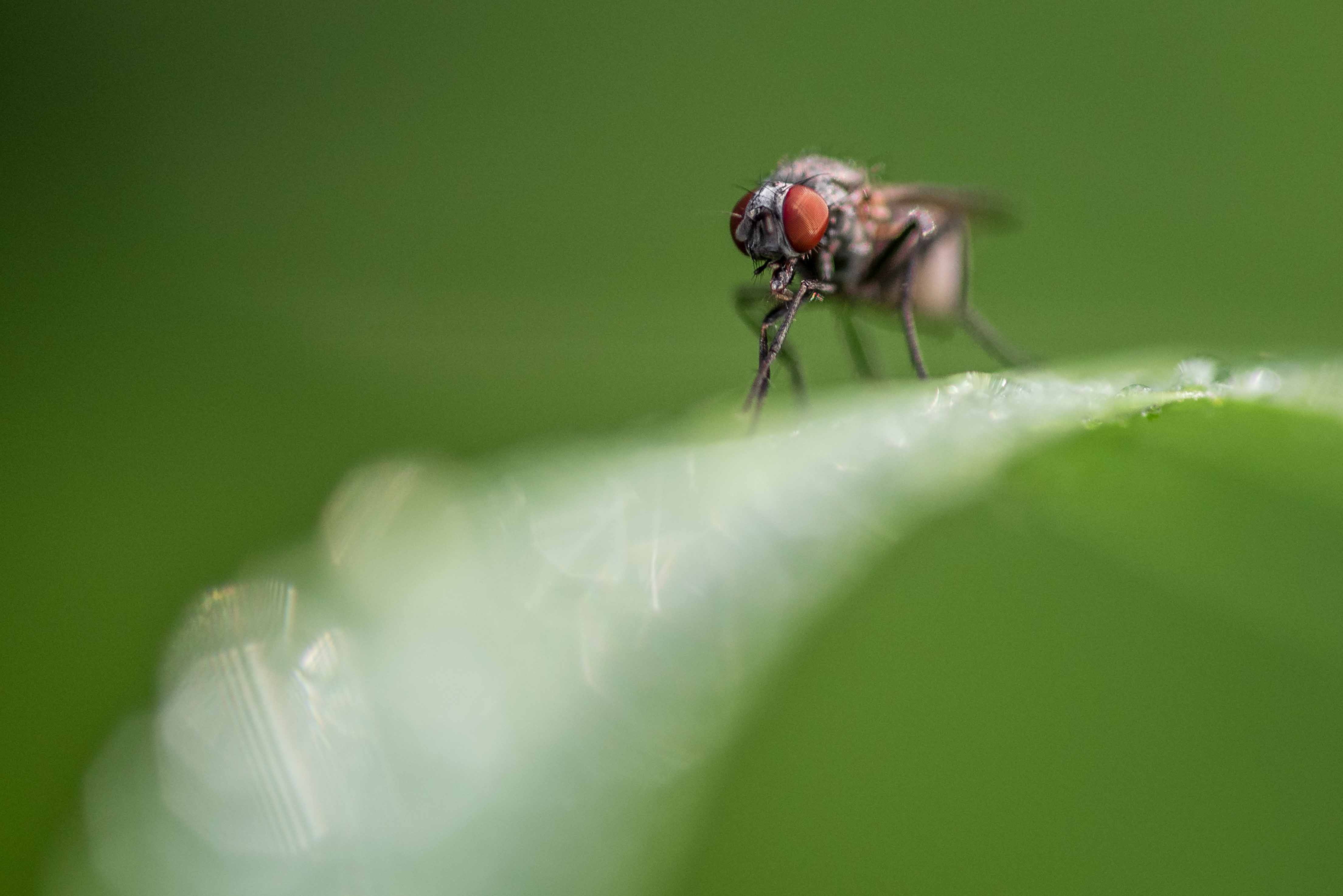 Portrait en macrophotographie d'une mouche (Musca sp.) sur un brin d'herbe