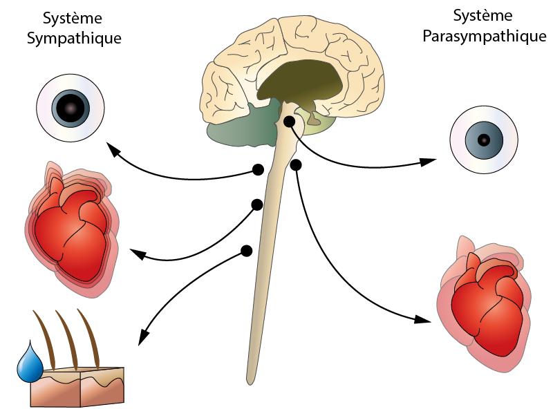 Illustration réalisée pour représenter l'activité du système nerveux autonome