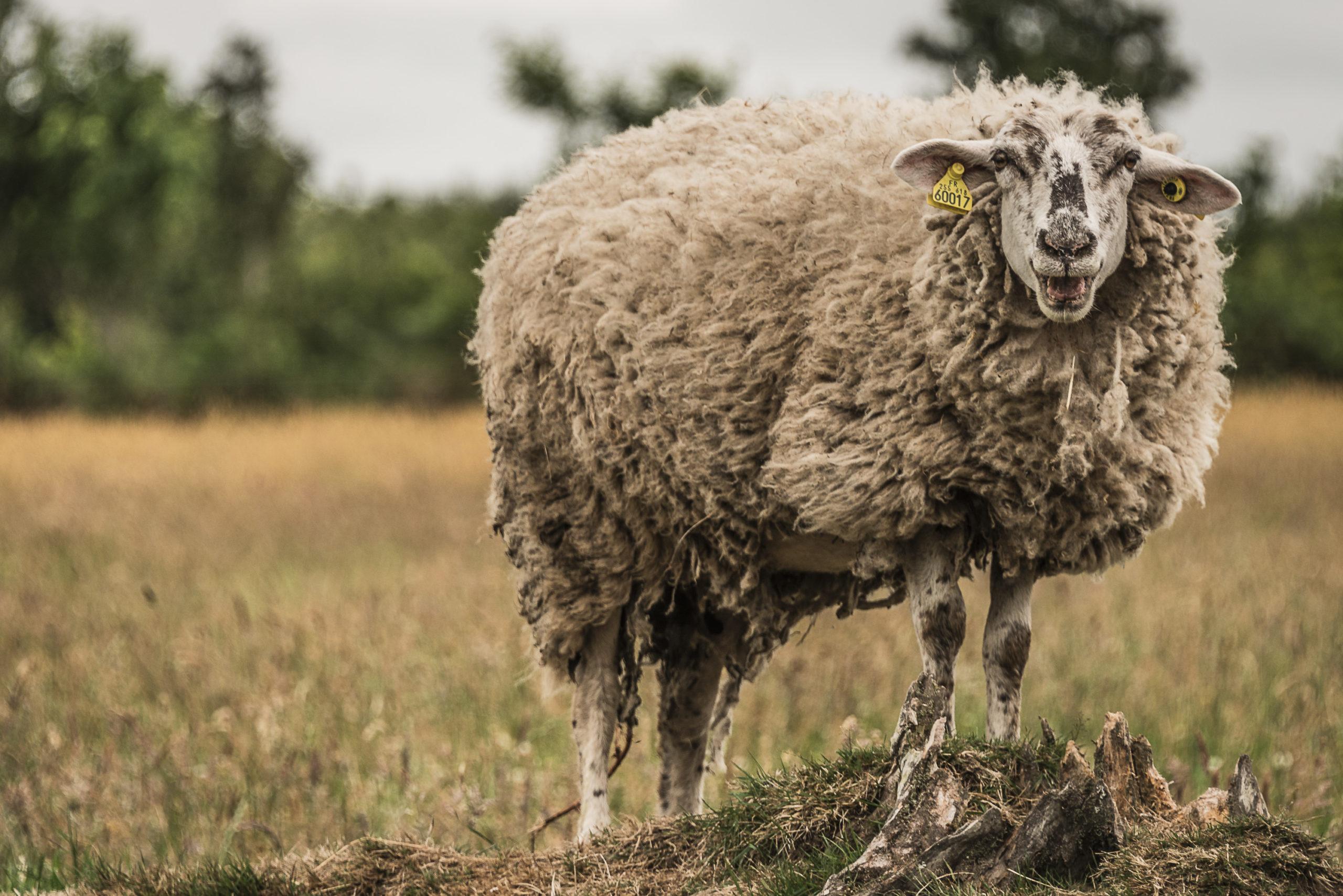 Un mouton en colère !