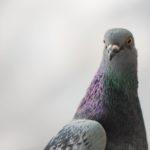 Pigeon en mission au Maroc