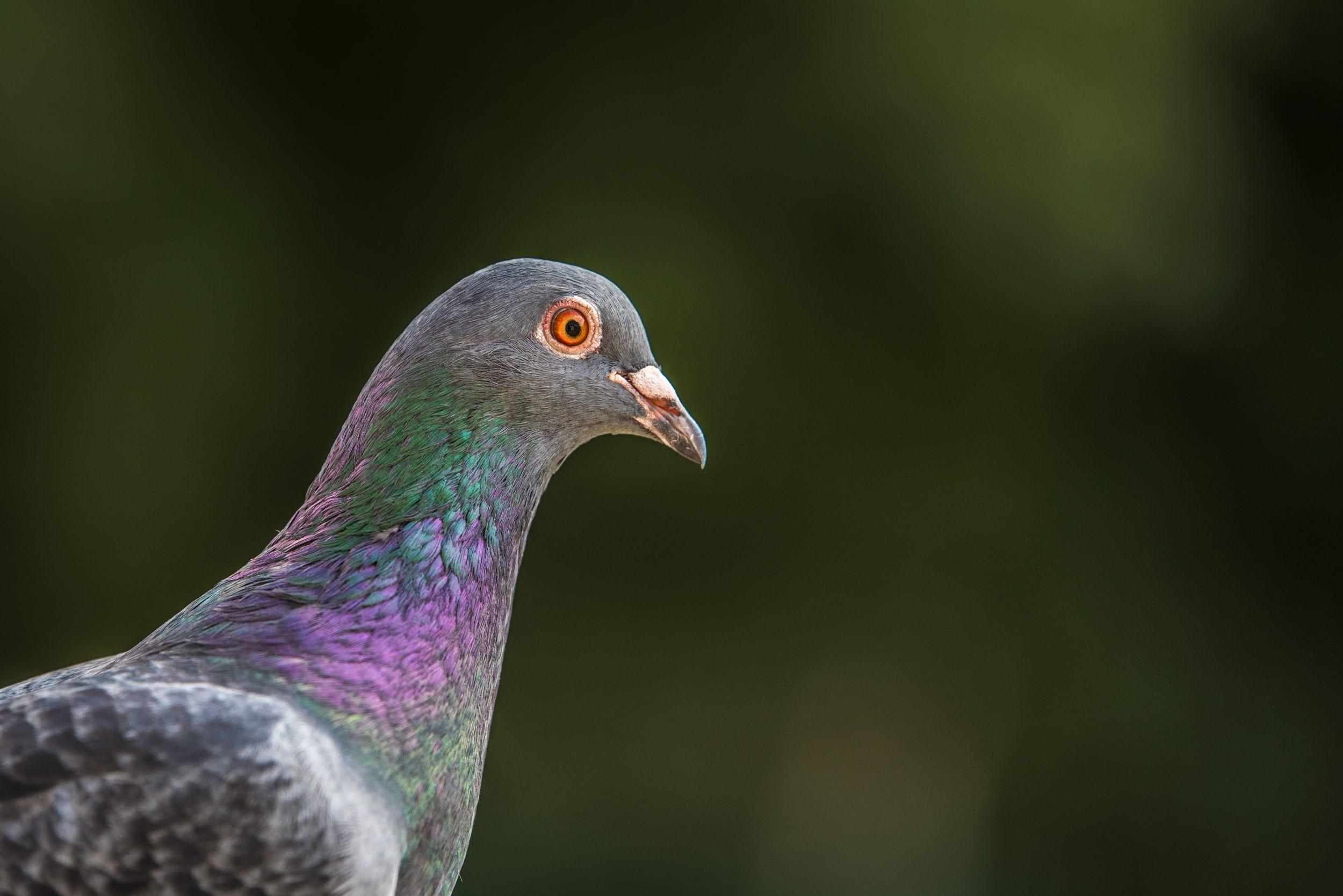 Pigeon en transit au Portugal
