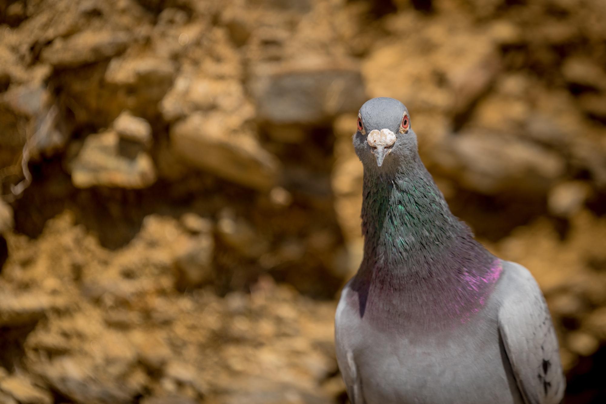 Un pigeon curieux