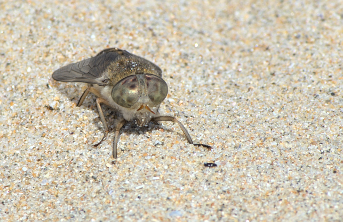 Sand fly on the... Sand